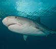 A large female tiger shark poses for a portrait shot. © Steve Rosenberg/ www.rosenbergebooks.com